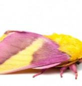 Нощна пеперуда изглежда така, сякаш е направена от захарен памук