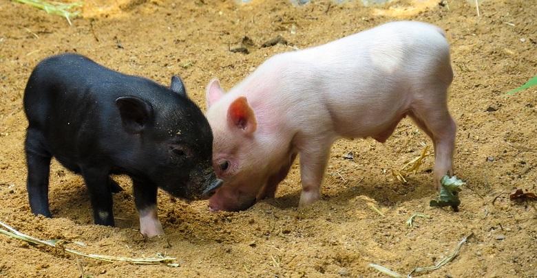 Нови по-строги ограничения за свиневъдите от Северна България заради Африканската чума