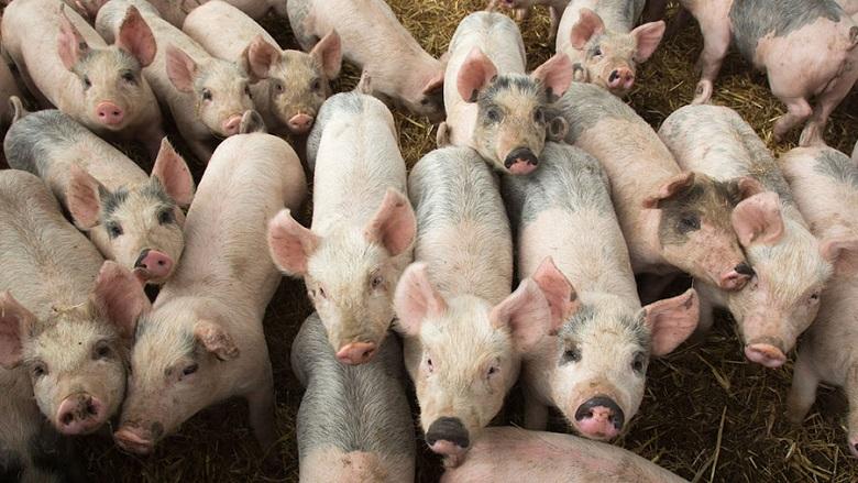 БАБХ отчете нов случай на Африканска чума при дива свиня