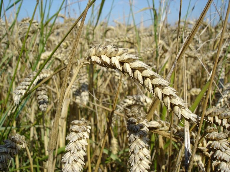 2 402 098 тона са запасите от пшеница у нас