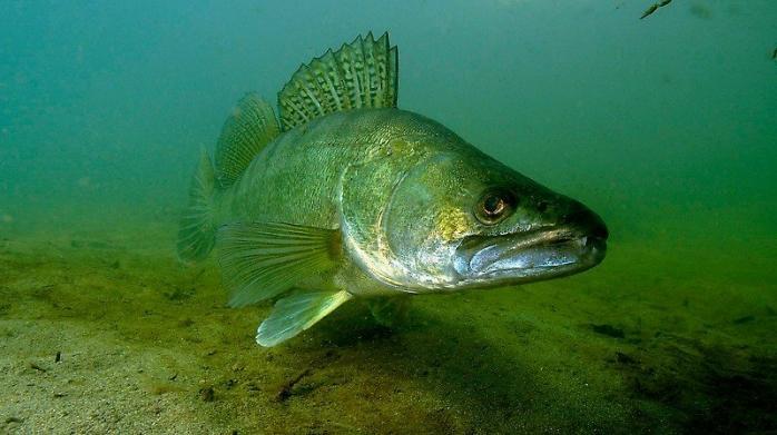 От днес забраняват лова на бяла риба