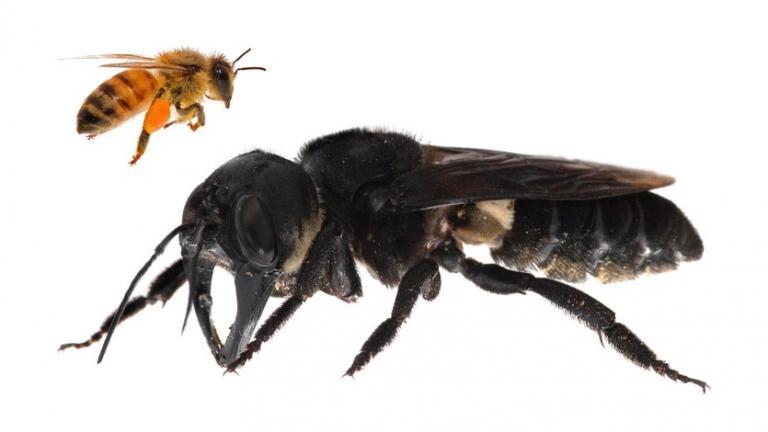 Учени откриха най-голямата пчела, смятана за изчезнала преди 40 години