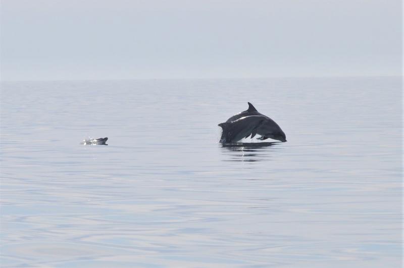 Намаляват случаите на мъртви делфини по българското крайбрежие на Черно море