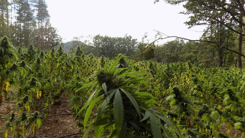Нива с около 5400 растения марихуана е открита в близост до язовир Цонево